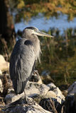 Great Blue Heron Resting on Lake Bank Royalty Free Stock Photo