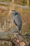Great Blue Heron Resting Royalty Free Stock Images