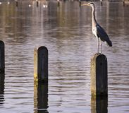 Great blue heron in hyde park london royalty free stock photography