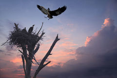 Great Blue Heron Returns to It's Nest and Babies at Sunset Royalty Free Stock Photography