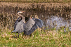 Great Blue Heron. Right after it landed Royalty Free Stock Images