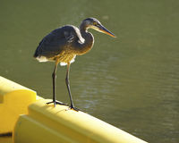 Great Blue Heron on River Boom Stock Photo
