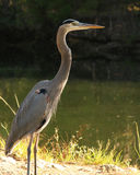 Great blue heron by the river. Great blue heron standing tall next to the river. He watches over the locals fishing in hopes for some treats Royalty Free Stock Photos