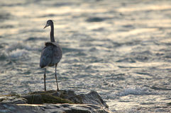 Great blue heron on rock. Close-up Stock Photos