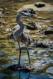 Great blue heron on rock in shallows Royalty Free Stock Photography