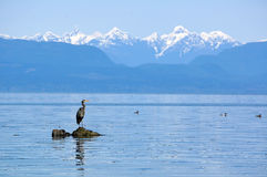 Great blue heron on rock. Great blue heron stands on a rock with sea around and snow capped mountains in the distance. Taken at Seal Bay Nature Park, Vancouver Royalty Free Stock Photography
