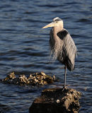 Great blue heron on rock in Tampa Bay Stock Photography