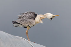 Great blue heron on a roof Royalty Free Stock Image