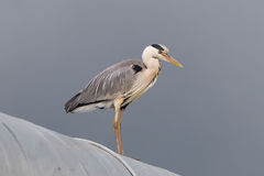 Great blue heron on a roof Stock Photography
