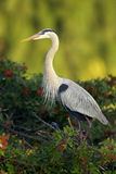 Great Blue Heron at rookery Stock Photo