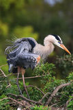 Great Blue Heron ruffling its feathers. It is the largest North Royalty Free Stock Photos