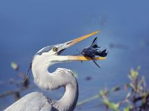 Great Blue Heron with a fish. Great Blue Heron with Sailfin Catfish Royalty Free Stock Images