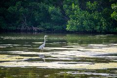 A Great Blue Heron in Sanibel Island, Florida. A portrait shot of a large wading bird chilling around the swamp of Ding Darling National Wildlife Refuge stock photography