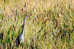 Great Blue Heron in sawgrass in wetlands, Florida Stock Photos