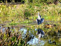 Great Blue Heron in sawgrass in wetlands in Florida Royalty Free Stock Image