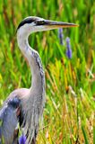 Great Blue Heron in sawgrass in wetlands Stock Photography