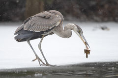 Great Blue Heron Scavenging a Fish in Winter Royalty Free Stock Images