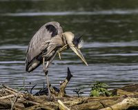 A great blue heron scratching his itch. Great blue heron on a lob by the lake taking time to scratch his itch royalty free stock photos