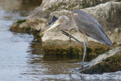 Great Blue Heron Scratching its Head -Ontario, Canada Royalty Free Stock Photos