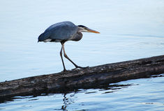 Great Blue Heron searching for fish. Stock Image