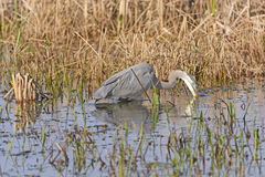 Great Blue Heron Searching for Prey Stock Photo