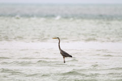 Great Blue Heron in shallows Royalty Free Stock Photos
