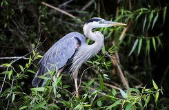 Great Blue Heron- Shark Valley Stock Photography