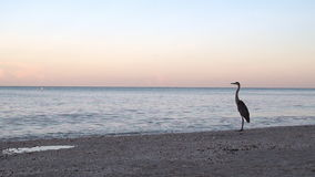 Great Blue Heron on Shore stock video footage
