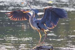 Great Blue Heron. On the shore of lake in Victoria, BC, Canada Stock Photos