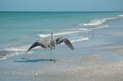 Great Blue Heron and Shorebirds on a Florida Beach Royalty Free Stock Image