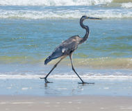 Great Blue Heron on Shoreline. A Great Blue Heron walking on the beach alongside receding waves Stock Images