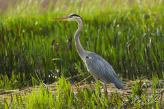 Great Blue Heron. This is a shot of a Great Blue heron standing in the marsh at the edge of Lake Tohipekaliga Kissimmee Florida on 23 December 2015 stock photos