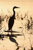 Great Blue Heron silhouette Royalty Free Stock Images