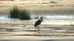 Great Blue Heron silhouette on beach, Hilton Head Island Stock Images