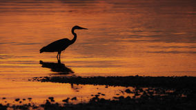 Great Blue Heron Silhouette Stock Images