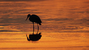 Great Blue Heron Silhouette Royalty Free Stock Photo
