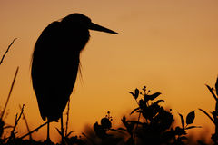 Great Blue Heron silhouette at sunrise Stock Images