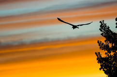 Great Blue Heron Silhouetted in the Sunset Sky As It Flies Royalty Free Stock Images