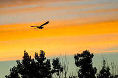 Great Blue Heron Silhouetted in the Sunset Sky As It Flies. Great Blue Heron Silhouetted in the Colorful Sunset Sky As It Flies Royalty Free Stock Image