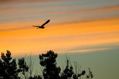 Great Blue Heron Silhouetted in the Sunset Sky As It Flies Stock Photos