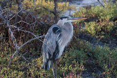 Great Blue Heron sits on a rock in the Galapagos Islands. A great blue heron sits on a rock next to the ocean in the Galapagos Islands royalty free stock image