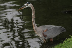 Great Blue Heron Stock Image