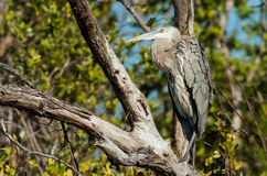 Great Blue Heron sitting in a tree. On a cool, fall afternoon Royalty Free Stock Photo