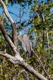 Great Blue Heron sitting in a tree. On a cool fall afternoon Royalty Free Stock Photo