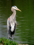 Great Blue Heron Slouching in Front of Green Lake Water. Portrait of a Great Blue Heron Ardea herodias slouching in front of a green lake Royalty Free Stock Photo