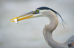Great Blue Heron with small fish Stock Image