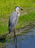 Great blue heron snacking on fish Stock Image