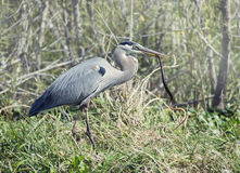 Great Blue Heron with a snake Stock Photography