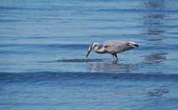 Great Blue Heron snatching a small fish Stock Photo