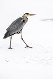 Great blue heron in snow. Great blue heron Ardea herodias in snow and ice royalty free stock photography